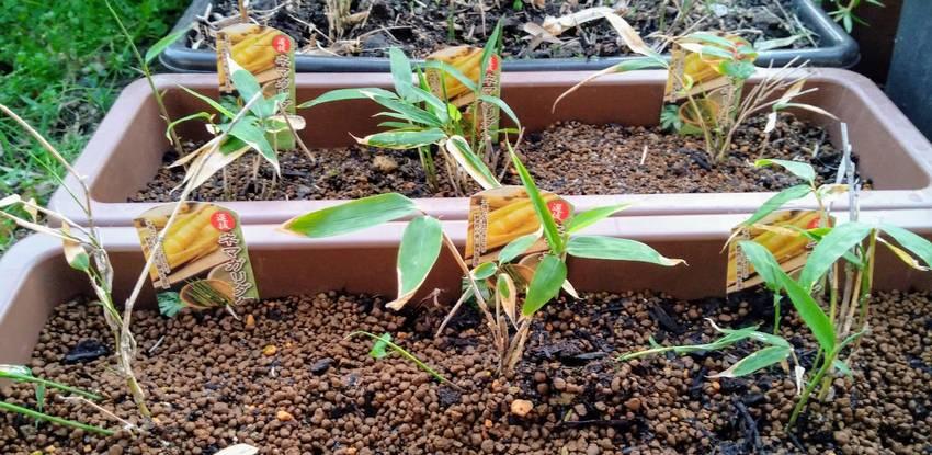 九州で根曲がり竹の栽培